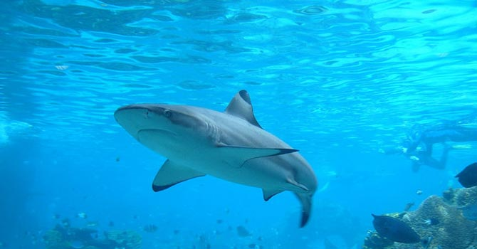 A shark pictured in Australia – File photo courtesy Creative Commons