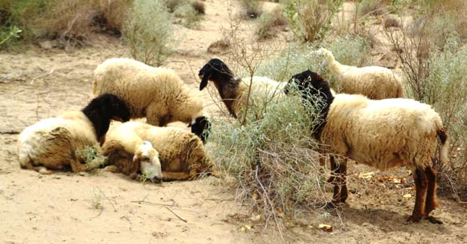 Sick lambs in Umerkot. – Dawn photo