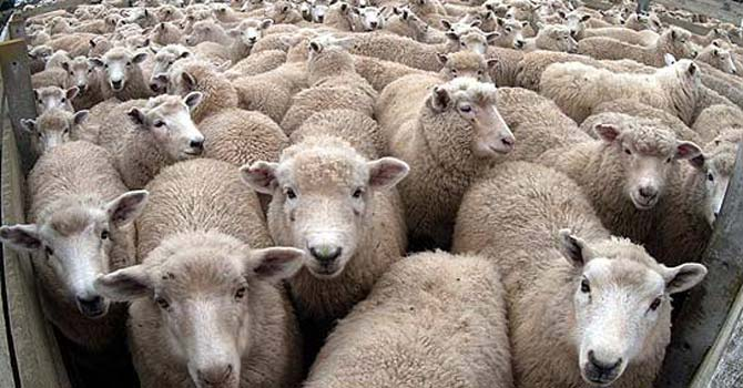 The sheep arrived some 10 days ago from Bahrain. Laboratory tests showed that they were infected with harmful bacteria. -AP File Photo