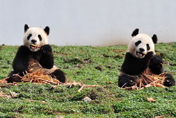 Two giant pandas having their meal in their new home in the Wolong National Nature Reserve in Wolong, southwest China's Sichuan province. The first 18 giant pandas returned to their new home in the newly reconstructed China Giant Panda Protection and Research Center Base after it was damaged in the 2008 Sichuan earthquake.