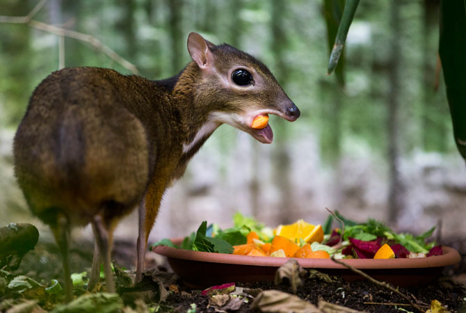 A chevrotain or mouse deer feeds in its enclosure at Zurich Zoo, Zurich, Switzerland. ? Photo by AP