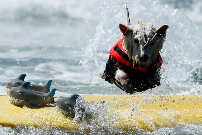 West Highland Terrier 'Surf Dog Joey' wipes out as he competes on a board with three sharks. ? Photo by Reuters