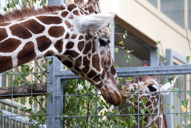 The two and a half year old giraffe Manja (Right) touches a male giraffe Edgar at the Osnabruck zoo, north-western Germany. ? Photo by AFP