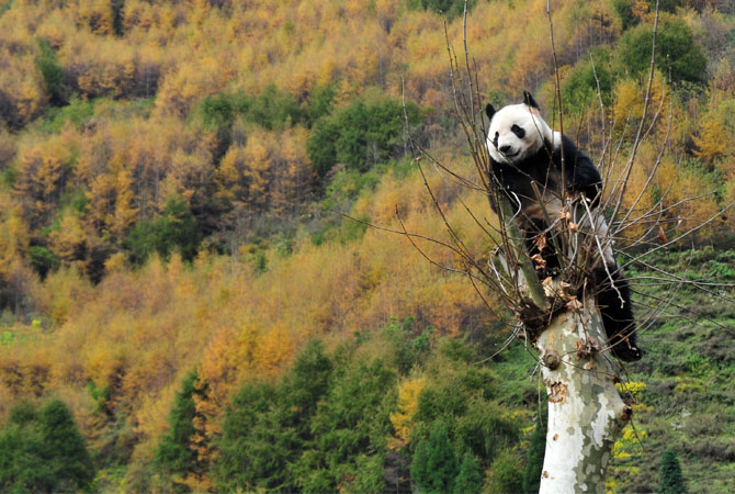A giant panda climbing a tree in its new home in the Wolong National Nature Reserve in Wolong. Panda's are easily recognized by its large, distinctive black patches around the eyes, over the ears, and across its round body.