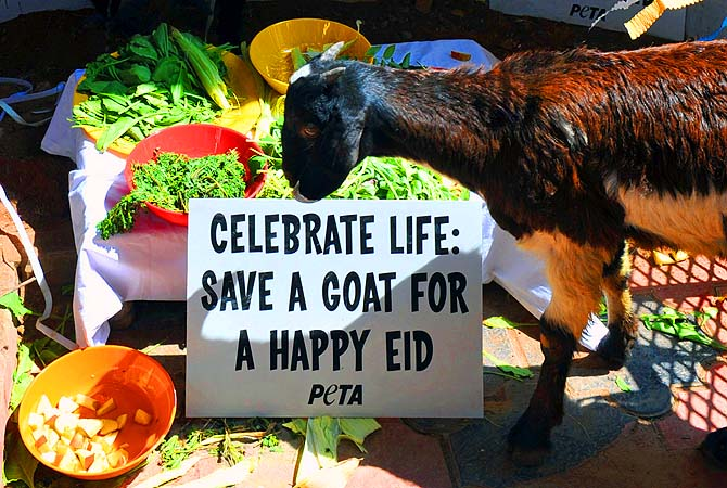 [Goat organises campaign to save his brothers from the massacre tomorrow.]