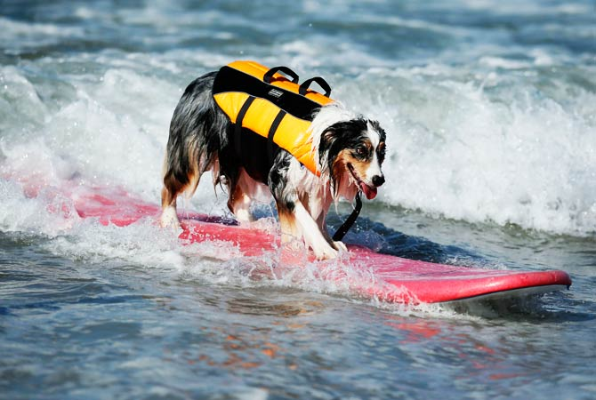 A dog catches a wave. ? Photo by Reuters
