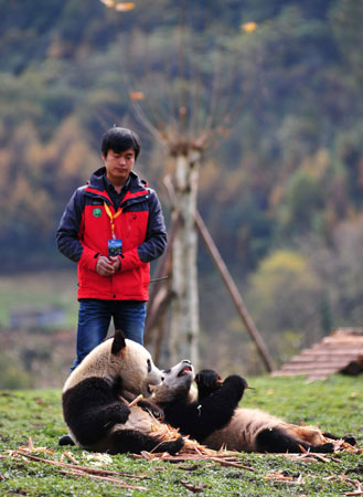 Two giant pandas having their meal in their new home in the Wolong National Nature Reserve in Wolong. In captivity they may receive honey, eggs, fish, yams, shrub leaves, oranges, or bananas along with specially prepared food.