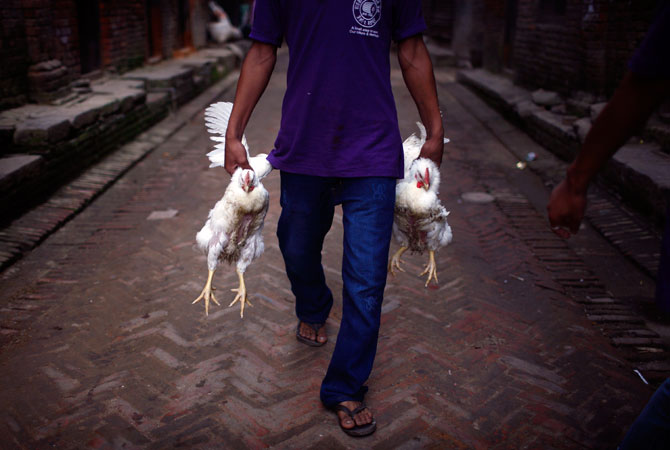 A man carrying roosters heads home from a livestock market in the ancient Nepalese city of Bhaktapur.