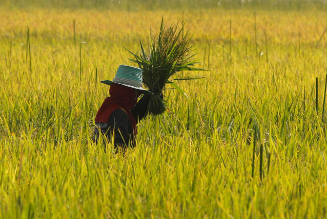 A farmer works in her rice field in Bangkok.