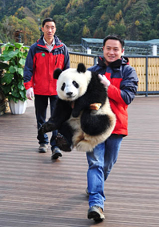 A giant panda being carried by a keeper in its new home in the Wolong National Nature Reserve in Wolong. The giant panda lives in a few mountain ranges in central China, mainly in Sichuan province, but also in the Shaanxi and Gansu provinces.