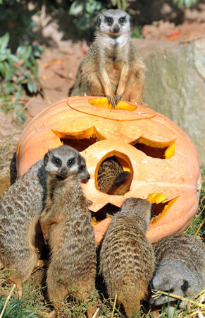 Meerkats at the zoo in Leipzig, eastern Germany, inspect a carved pumpkin filled with flour worms and straw. Suited to the upcoming Halloween holiday, the animals' enclosure is decorated with pumpkins and delights meerkats and visitors. ? Photo by AFP