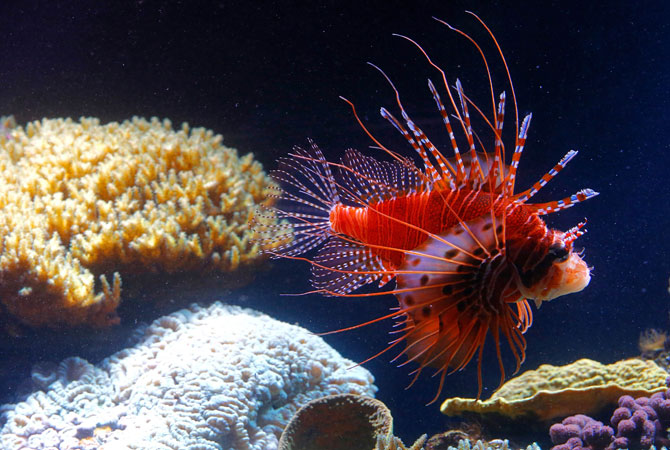 A red lionfish (Pterois volitans) swims in the aquarium of the Schonbrunn zoo in the gardens of the Schoenbrunn Palace in Vienna. The red lionfish is a venomous coral reef fish. ? Photo by AFP