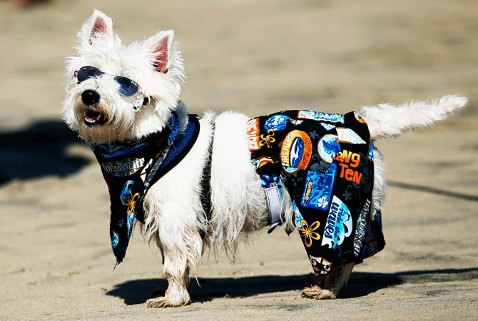 West Highland Terrier 'Surf Dog Joey' stands on the sand before competing. ? Photo by Reuters