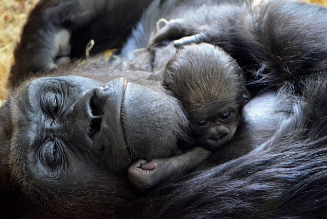 A newborn western lowland gorilla, cuddles with its mother Bana, 17, at the zoo. The baby has yet to be sexed or named and appears to be doing well. Zookeepers and vets will closely monitor Bana and her baby to ensure they continue to do well, as the first few weeks are critical in the survival of newborn gorillas. ? Photo by AP