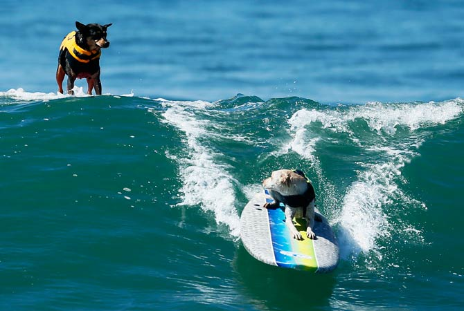 A dog looks back at a competitor as it catches a wave. ? Photo by Reuters