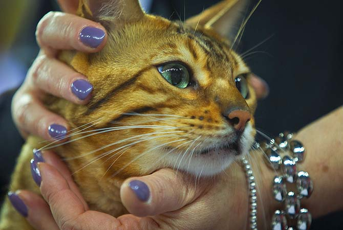 A cat is inspected by a jury member during the World Cat Show international feline exhibition in Croatia. An average of 1,500 cats from some 30 countries participate in World Cat Shows.?Photo by AP