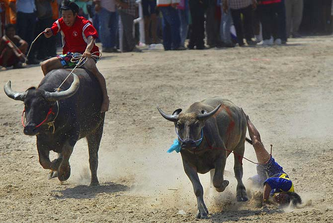 A Thai water buffalo rider loses his balance as he competes at an annual water buffalo race in Chonburi Province south of Bangkok, Thailand, on Monday, Oct. 29, 2012. The annual race is a celebration among rice farmers before harvesting rice.?Photo by AP