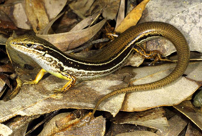 "This Australian National University (ANU) handout photo released on October 29, 2012 shows a six-centimetre (two-inch) long ""Ctenotus ora"" or the coastal plains skink, sitting on rock.  Scientists announced the discovery of the new species of lizard ""Ctenotus ora"", fighting to survive among the sand dunes outside Perth in Western Australia.?Photo by AFP"