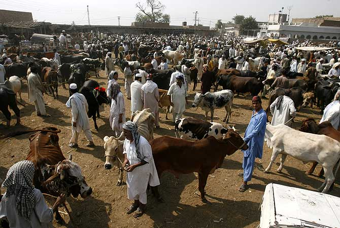 A make-shift sacrificial animals market established for Eidul Azha at Ring Road in Peshawar.- Photo by APP