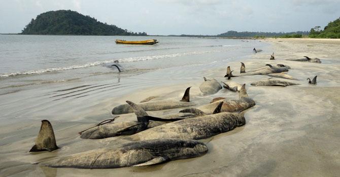 whales-die-AFP-670