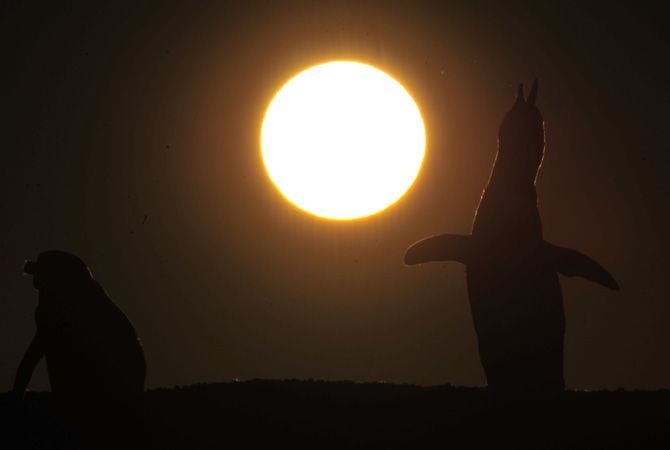 Magellanic penguins are seen during sunset at the Punta Tombo fauna reservation in the Patagonian Argentine province of Chubut.