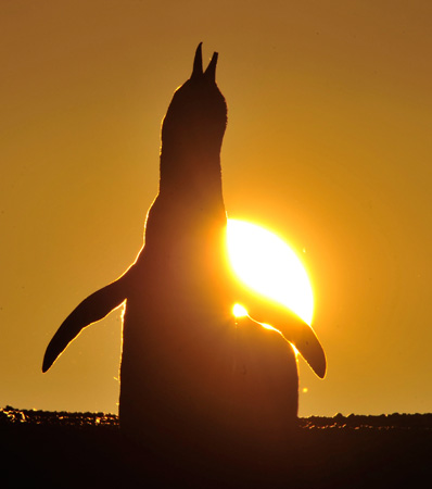 A Magellanic penguin is seen during sunset at the Punta Tombo fauna reservation in the Patagonian Argentine.