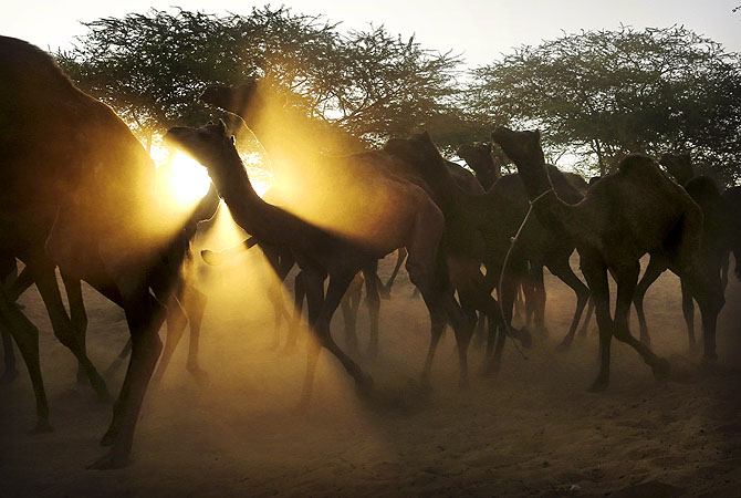 A herd of camels are lead to the annual Pushkar Fair in Pushkar, Rajasthan, India.?Photo by AP