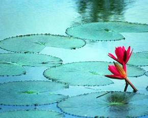 290-Bangladesh-Lotus