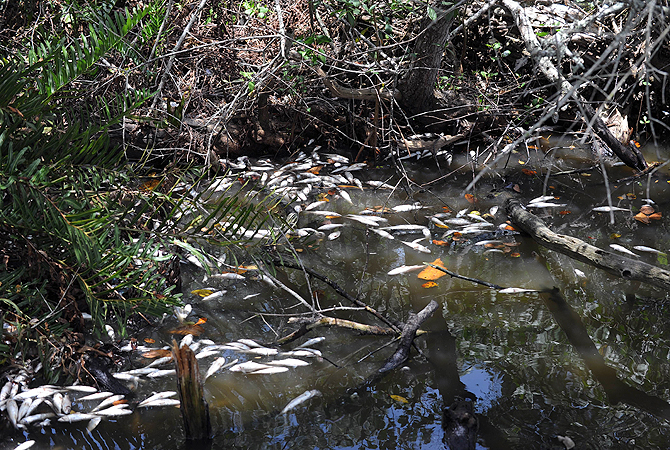 View of dead fishes at the Marapendi lagoon, in the Barra de Tijuca neighbourhood , in Rio de Janeiro, on December 11, 2012. The state Environmental Institute visited the area following a pollution denounce due to sewage and hot water caused by the hot wave affecting the city. Biologist Mario Moscatelli said that more than two tons of fishes died in one day. – Photo by AFP