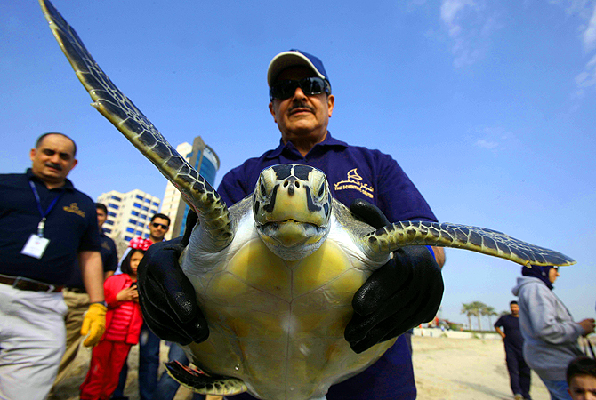 Mijbel Al-Mutawaa, Managing Director of the Kuwait Scientific Center, holds a Green sea turtle before it is released into the ocean along the main beach in Kuwait City. Eight endangered Green turtles were released into their natural habitats after being treated at the Scientific Center, where they were brought injured by fishermen and activists. —Photo by AFP