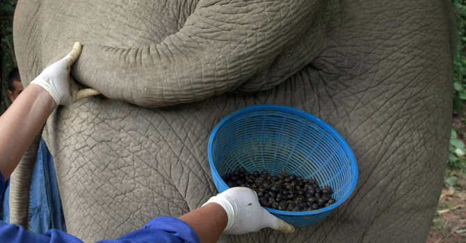 A Thai mahout's wife jokingly poses with a plastic basket containing coffee beans freshly cleaned from elephant dung below the tail of an elephant in Chiang Rai province, northern Thailand.—AP Photo