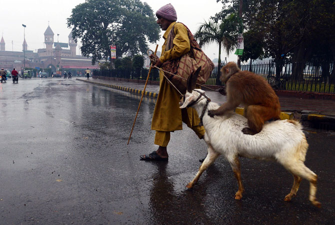 A Pakistani street performer walks with his trained monkey and goat during a heavy rain in Lahore.