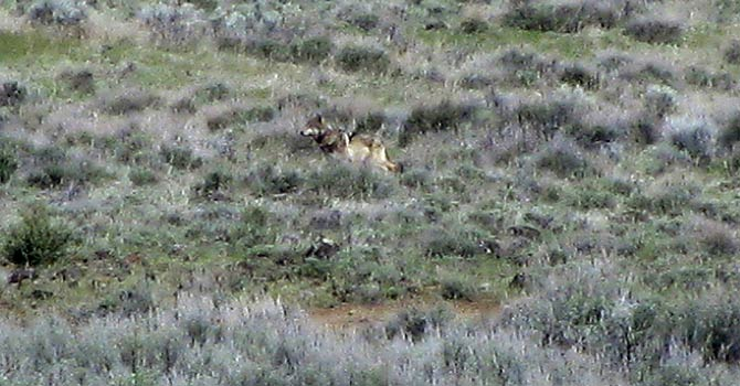 This May 8, 2012 file photo provided by the California Department of Fish and Game shows OR-7, the Oregon wolf that has trekked across two states looking for a mate, on a sagebrush hillside in Modoc County, Calif. California's lone gray wolf passed his one-year anniversary as a transplant resident of the former Bear Republic with the same technical amenities many people possess: a Twitter account and a website devoted to his travels. His mere chance presence has prompted action by one state and two federal agencies that now have to figure out how to manage the species when others inevitably follow in his 5-inch footprints. - AP Photo