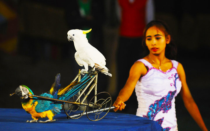 Indian female performer controls birds during a show.