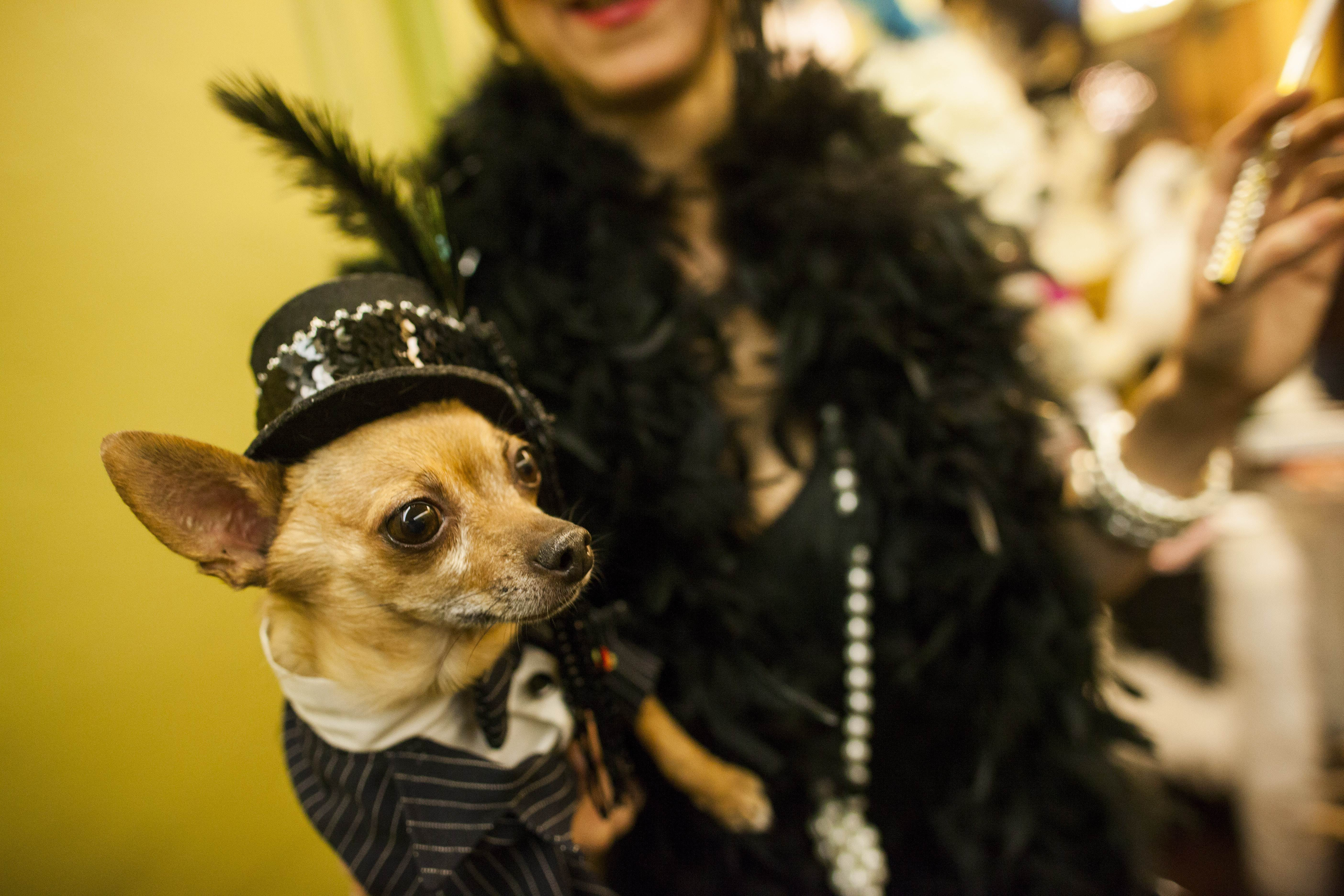 A Chihuahua form the Upper West Side of Manhattan, poses on the red carpet at the New York Pet Fashion Show at Hotel Pennsylvania ahead of next week's Westminster Kennel Club Dog Show. ? AFP Photo