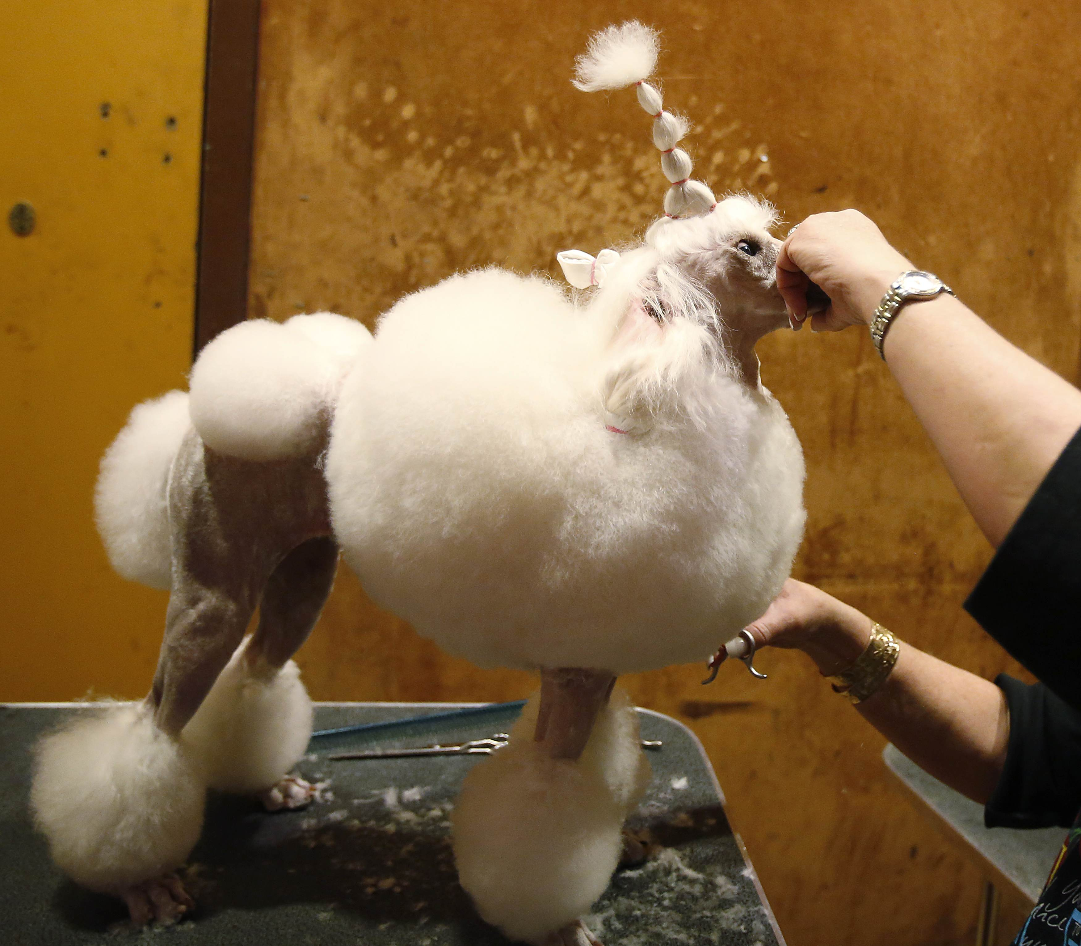 Leslie Simis grooms her dog Sharona, a Miniature Poodle, at the dog spa at the Hotel Pennsylvania in advance of the Westminster Dog Show. ? Reuters Photo