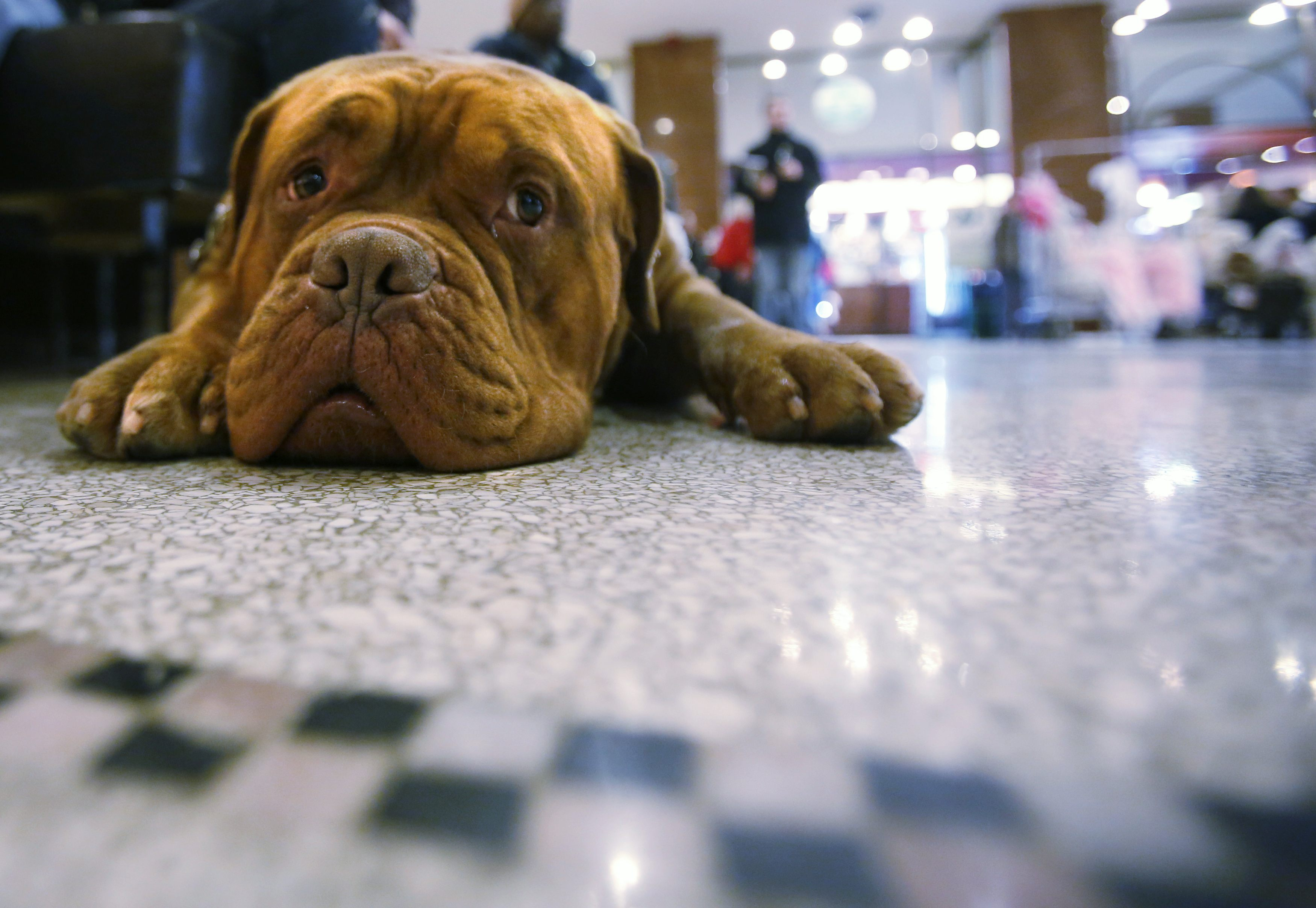 Two-year-old Azlo, a Dogue de Bordeux, waits in the lobby for his room to be ready at the Hotel Pennsylvania in advance of the Westminster Dog Show. ? Reuters Photo