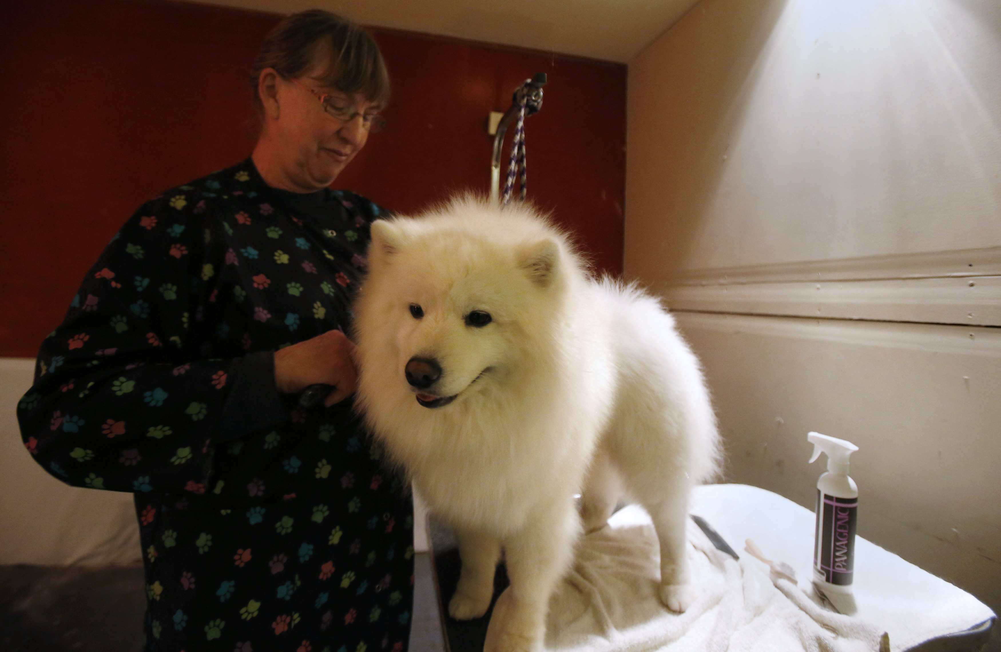 Bonnie Hammond Brown grooms her dog Tuiyok, an American Eskimo, at the dog spa at the Hotel Pennsylvania in advance of the Westminster Dog Show in New York. . ? Reuters Photo