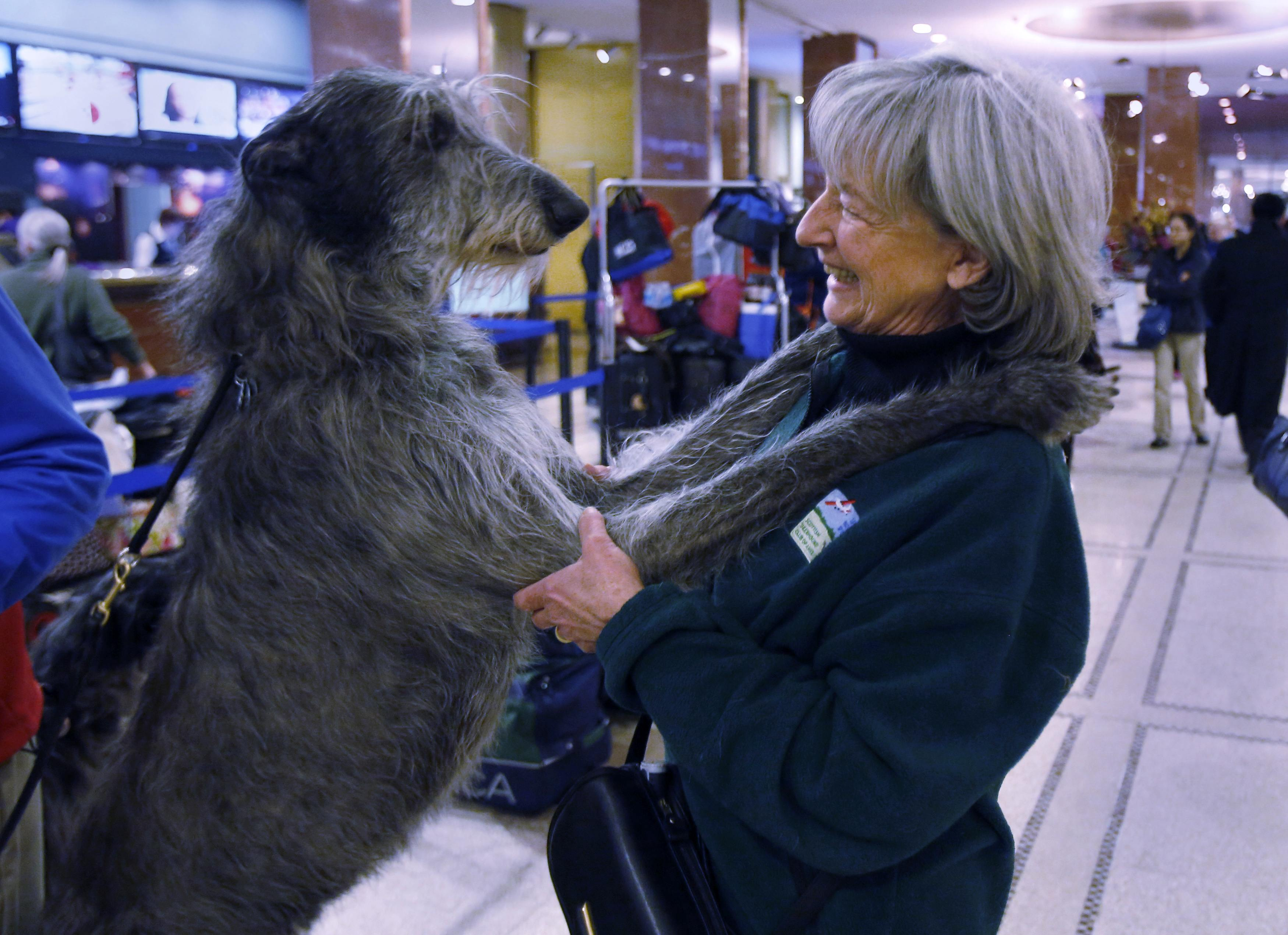 Chino, a Scottish Deer Hound, jumps up to greet his owner Ann Hammond as they wait for their room in the lobby of the Hotel Pennsylvania in advance of the Westminster Dog Show in New York. ? Reuters Photo