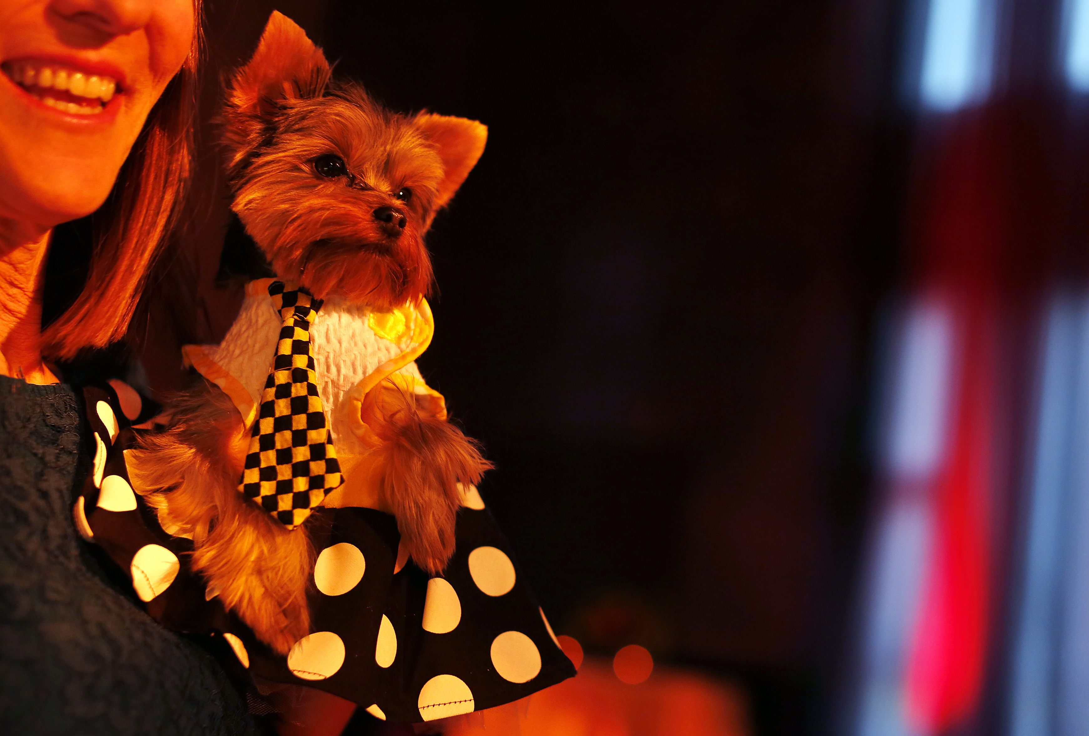 Schmitty, a Yorkshire terrier breed, is seen during a cocktail hour before the start of the New Yorkie Runway Doggie Fashion Show. ? Reuters Photo