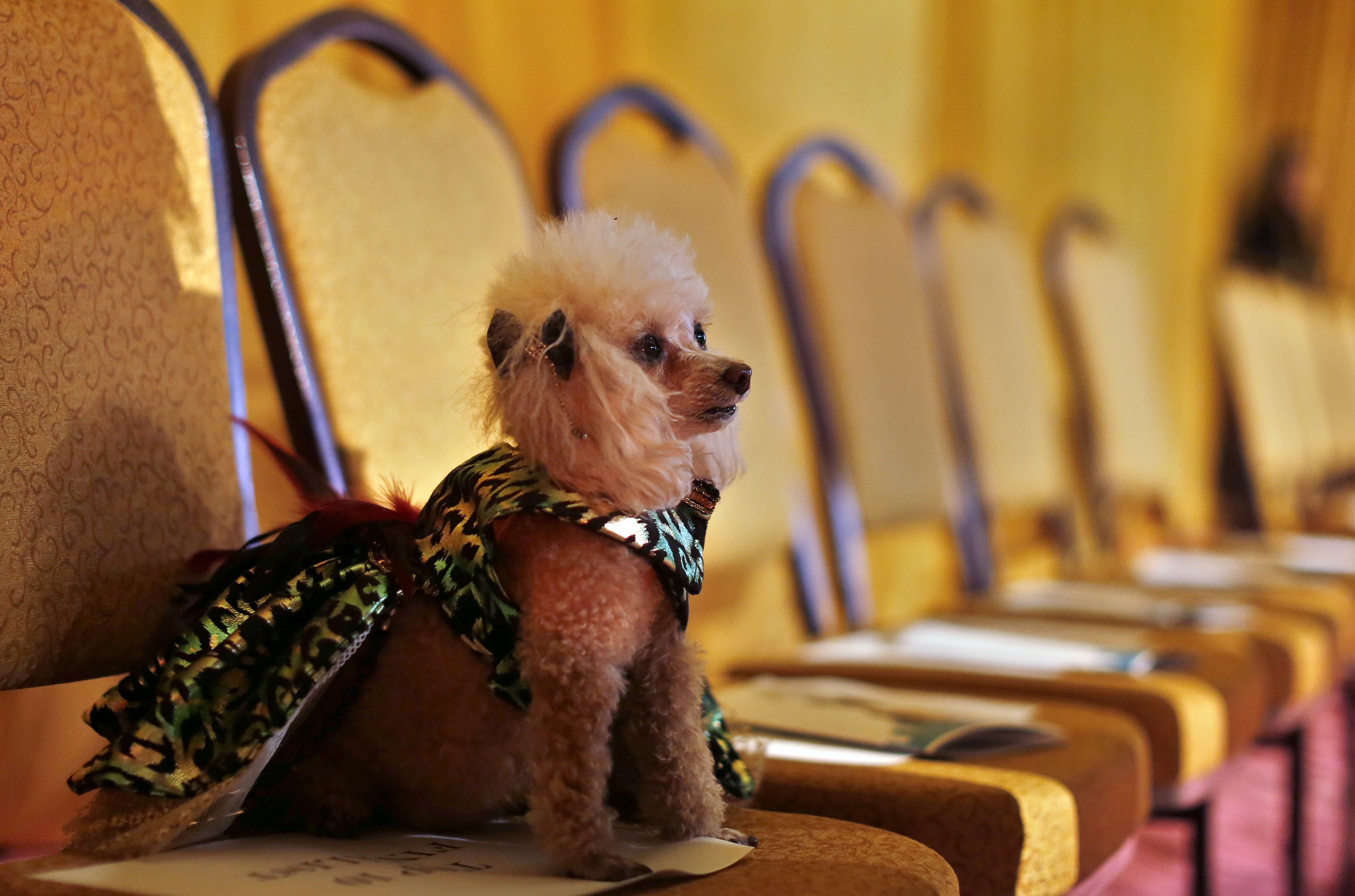Boo, a Toy Poodle breed, sits on a chair before the start of the New Yorkie Runway Doggie Fashion Show in New York. ? Reuters Photo