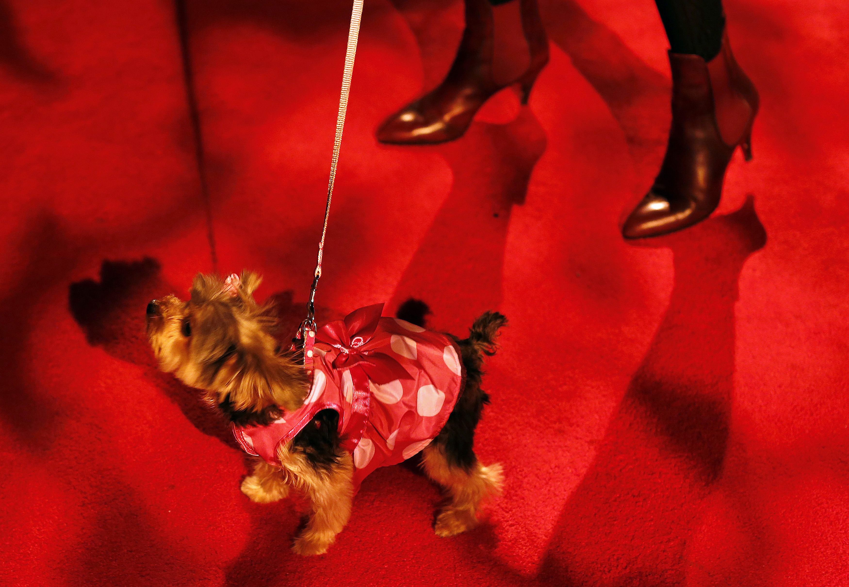 A dog walks with its owner before the start of the New Yorkie Runway Doggie Fashion Show in New York. ? Reuters Photo