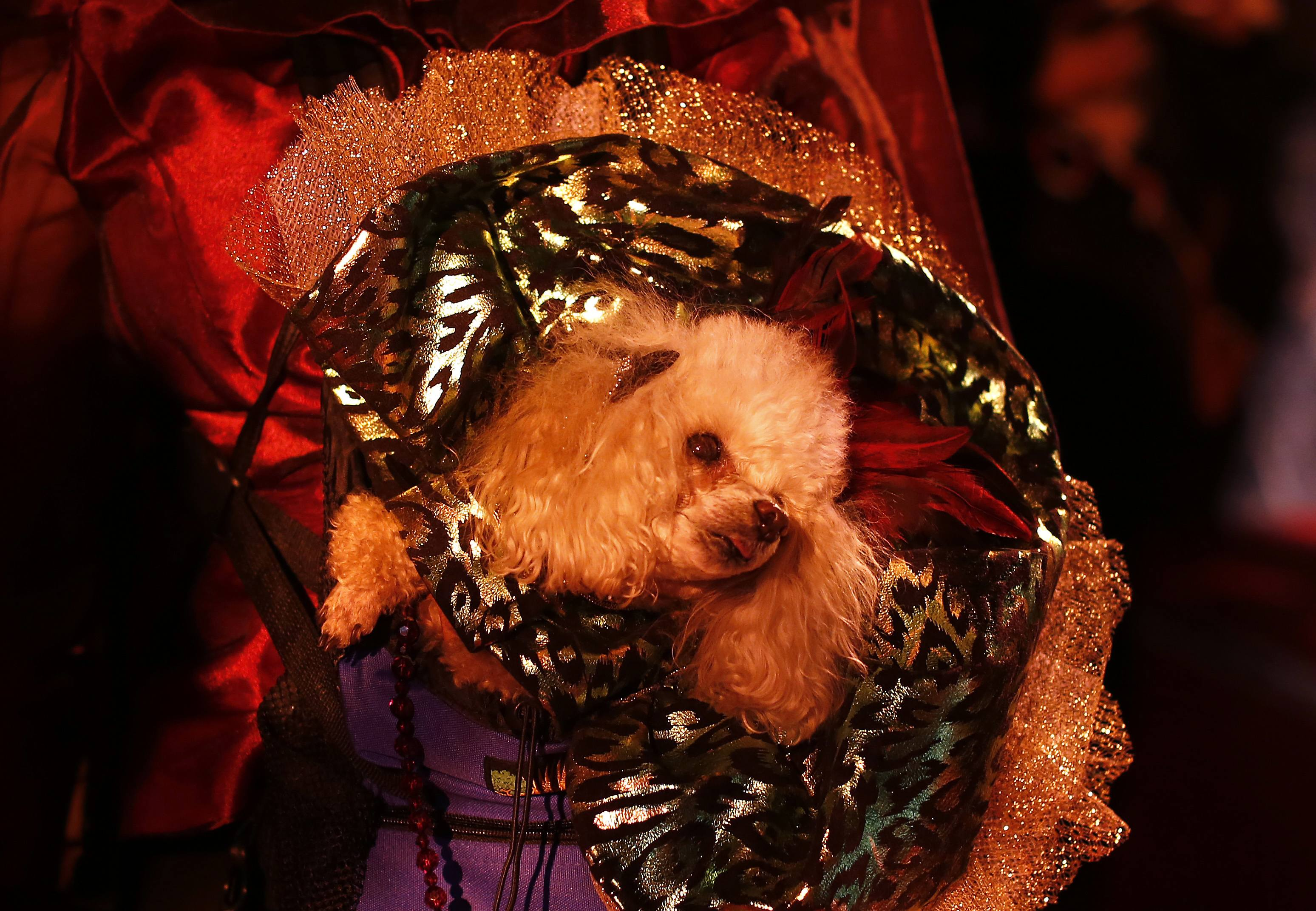 Boo, a Toy Poodle breed, is seen before the start of the New Yorkie Runway Doggie Fashion Show. ? Reuters Photo
