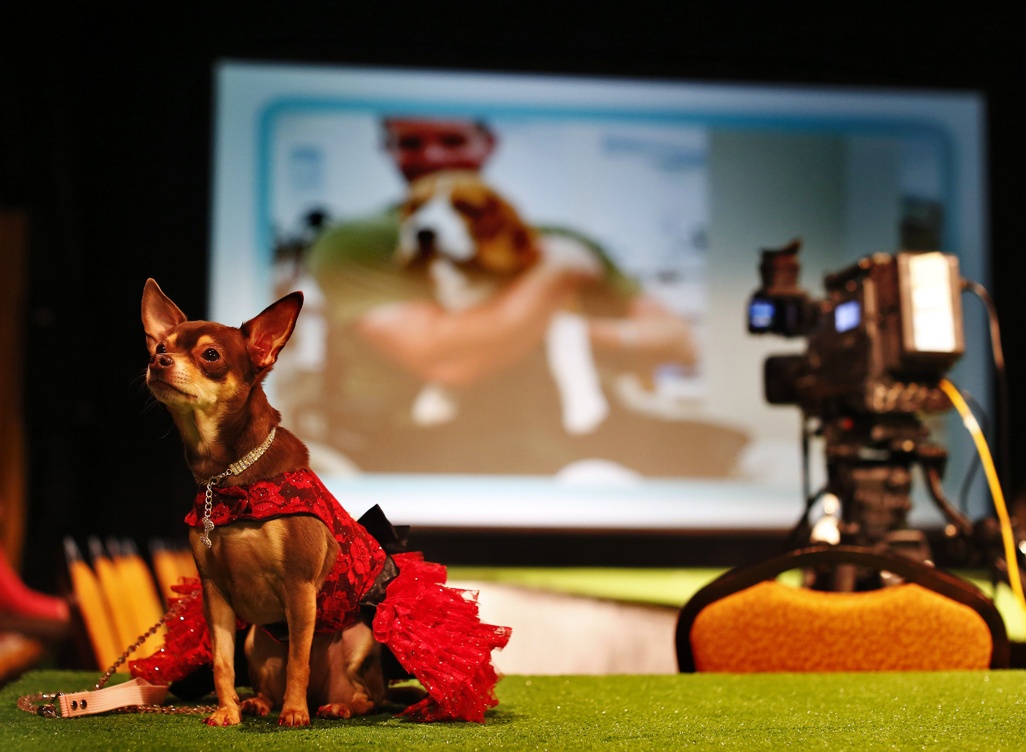 Chai Latte, a Chihuahua breed, sits on the runway before the start of the New Yorkie Runway Doggie Fashion Show in New York. ? Reuters Photo