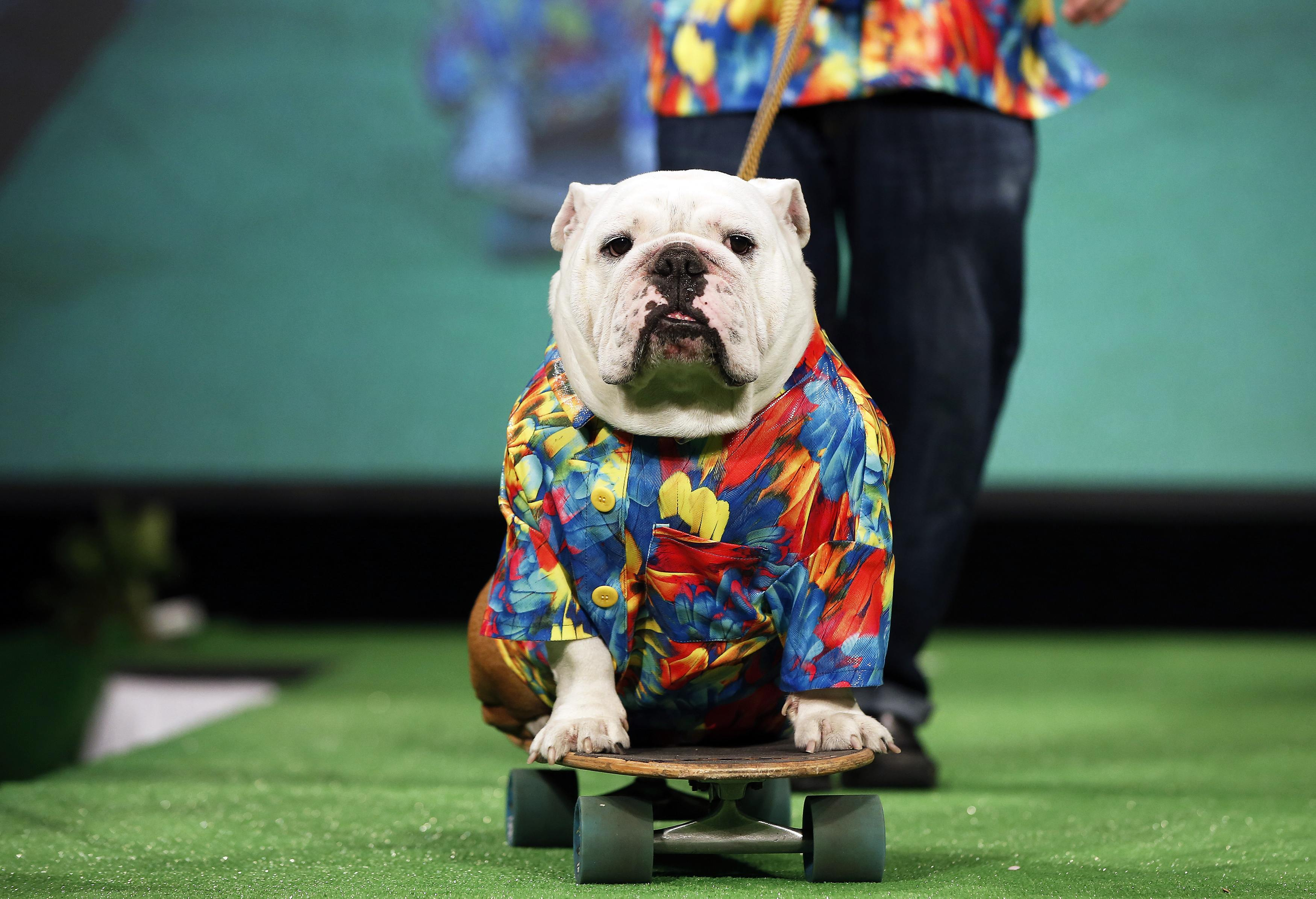 Beefy, a Bulldog breed, rides on a skateboard pulled by his owner Patrick Clemens on the runway of the New Yorkie Runway Doggie Fashion Show in New York. ? Reuters Photo