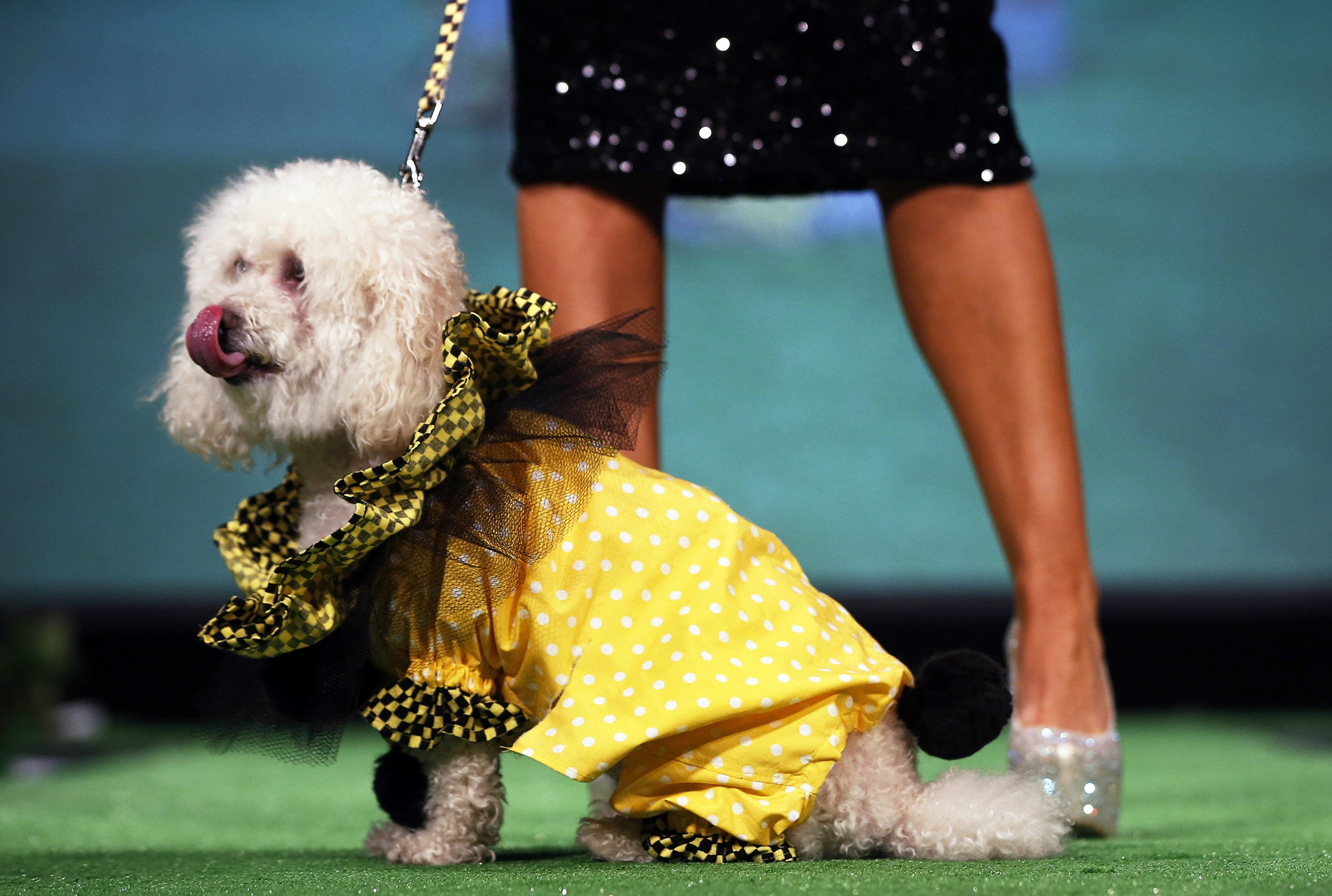 Milo a Poodle and Pomeranian breed mix, sits on the runway of the New Yorkie Runway Doggie Fashion Show in New York. ? Reuters Photo