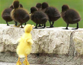 290-duckling