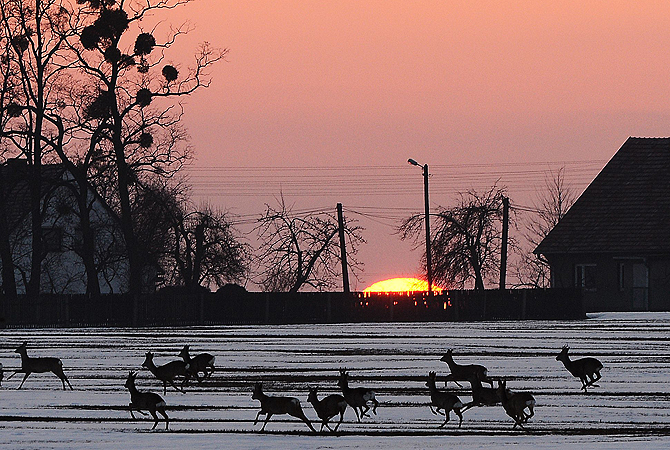A herd of deer runs through a snowy field in a village near Czestochowa, southern Poland, at sunset.
