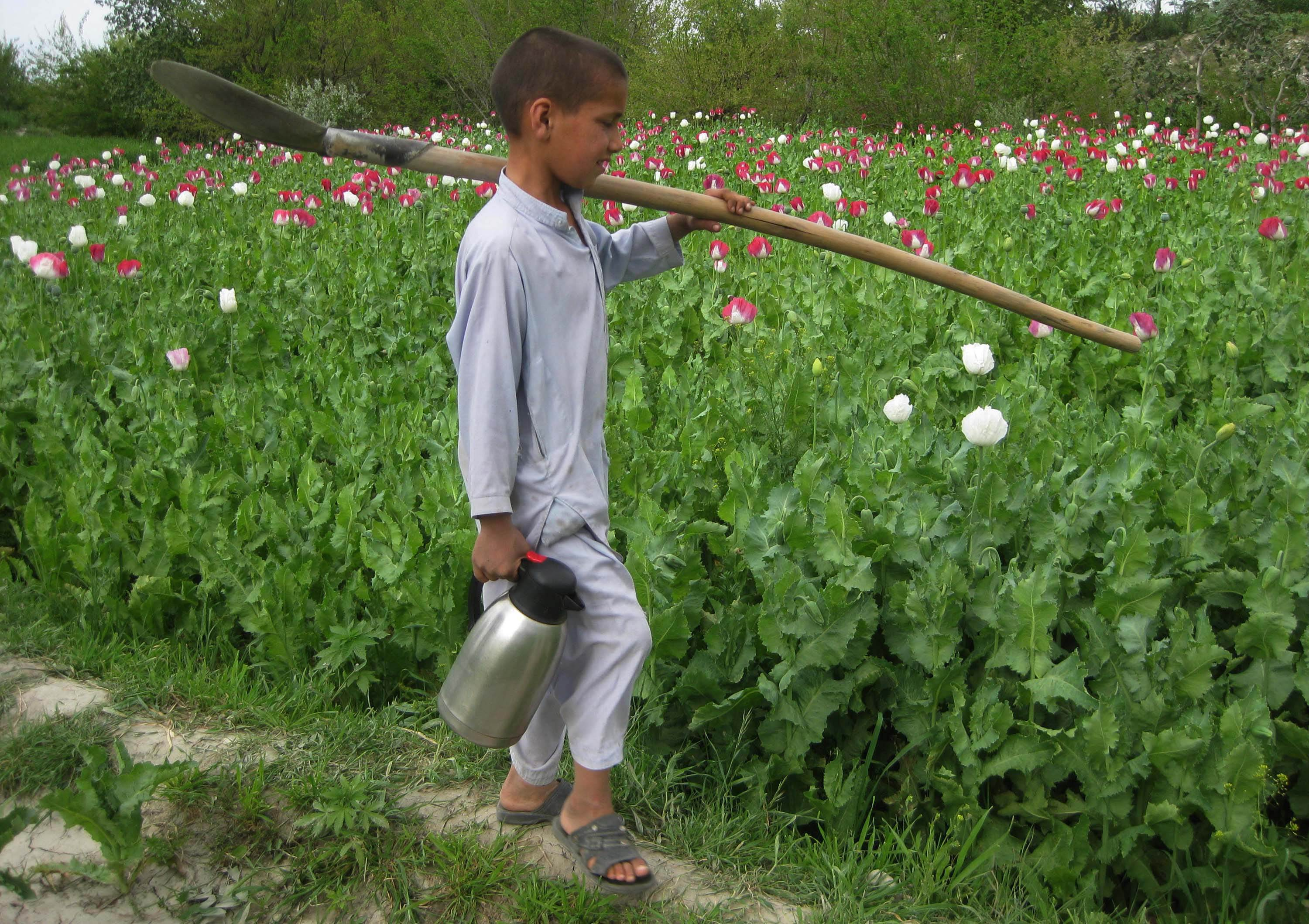 An Afghan boy carries a flask as he works in a poppy field in Khogyani district, eastern Nangarhar province on April 6, 2013.  Poppy cultivation is expected to increase in both eastern and western provinces of the country, though will remain at a much lower level of cultivation as compared to Helmand and Kandahar provinces, the United Nations office on Drugs and Crimes (UNODC) said in its 2012 report.