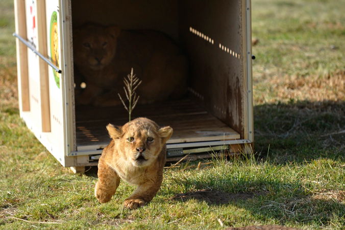 Hera, a six-month-old lion cub, runs out of a cage as it is released at Lionsrock Big Cat Sanctuary April 11, 2013. Four Paws Animal Welfare Foundation transferred 4 lions and 2 tigers from a zoo in Onesti, Romania to Lionsock Big Cat Sanctuary in South Africa after the zoo was closed down. More than 100 felines from around the world like lions, tigers, cheetahs or caracals that were originally from zoos, circuses or kept in illegal captivity are hosted and cared for by Four Paws in their 1,242-hectare sanctuary. P